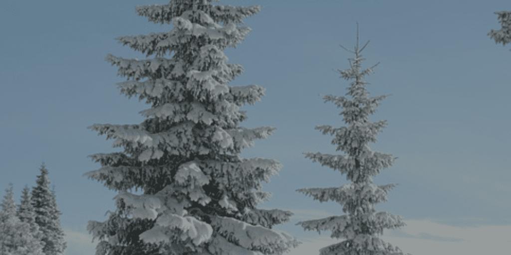 winterbaeume